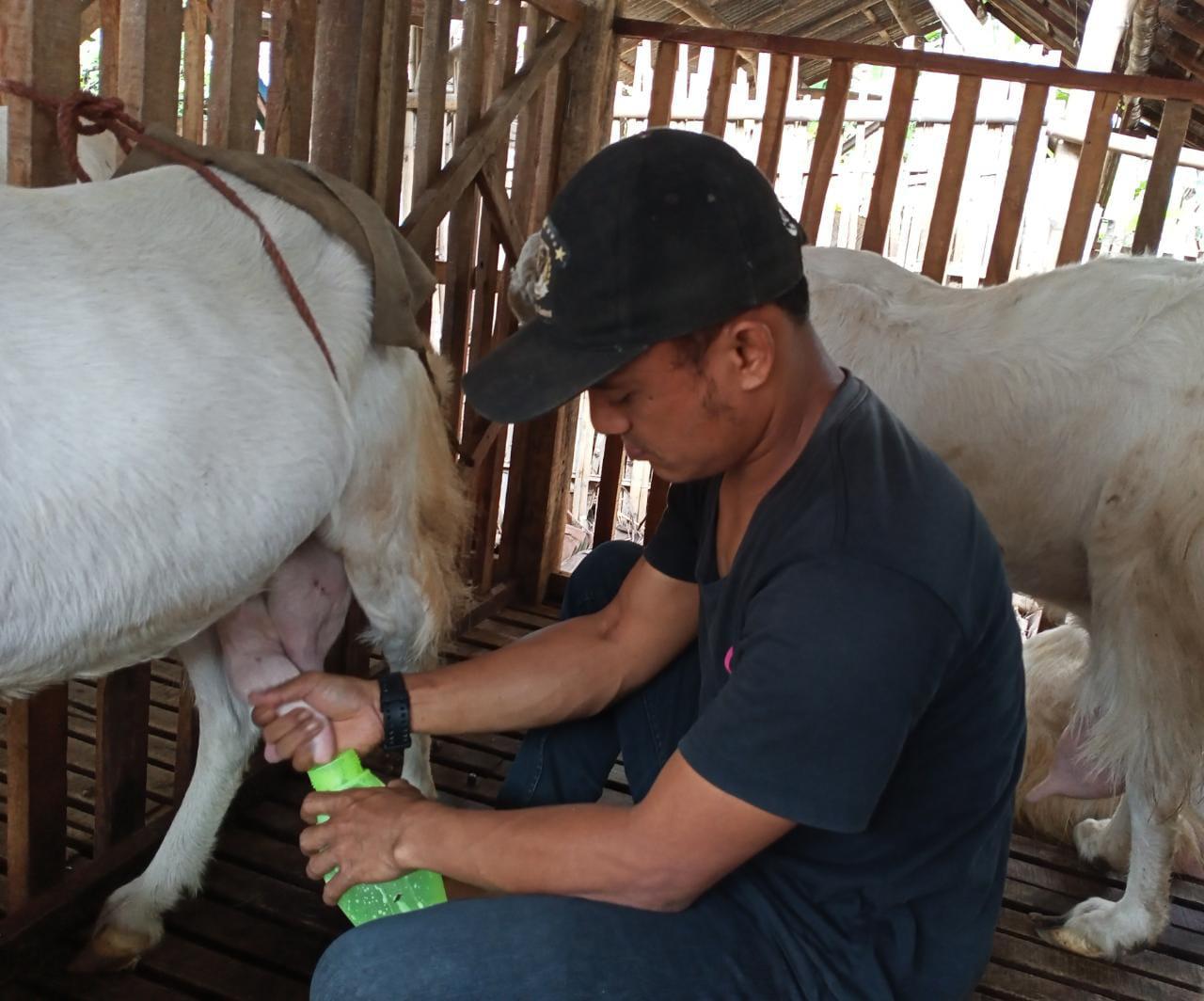 Susu Kambing Etawa Lumajang Jadi Peluang Usaha Masa Pandemi