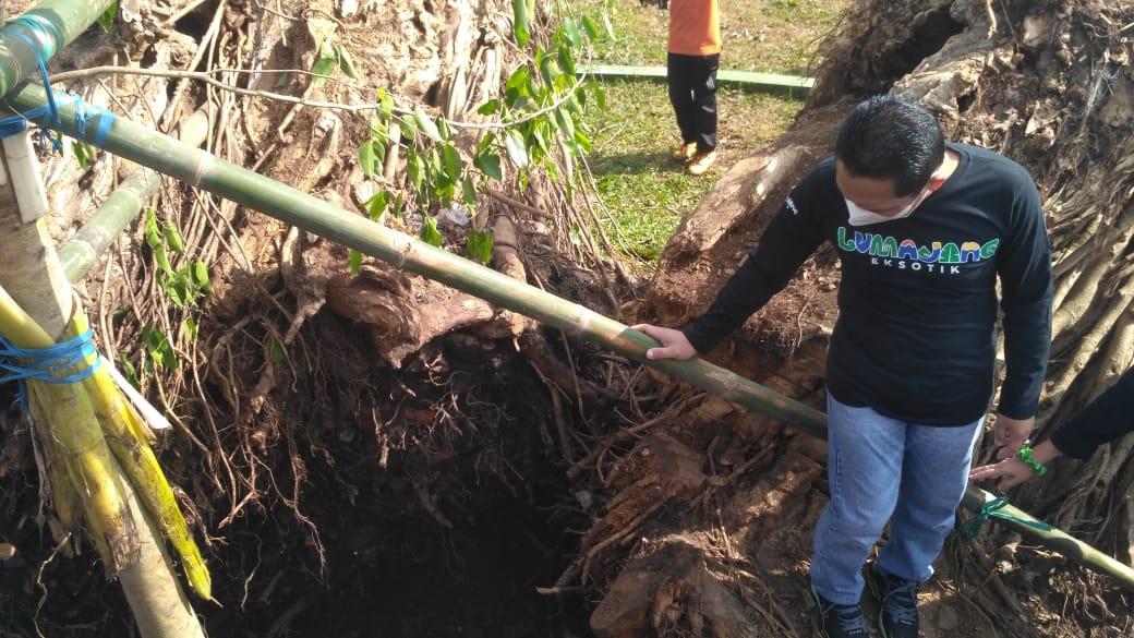 Cak Thoriq dan Bunda Indah Tanam Pohon Beringin Lumajang Baru
