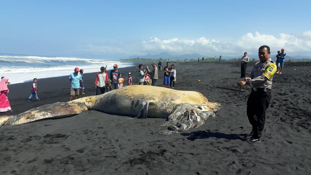 Bangkai Ikan Paus Terdampar di Pantai Selatan Lumajang