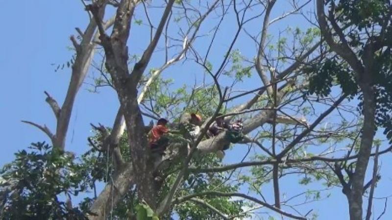 Tebang Kayu, Sutar Nyangkut di Atas Pohon 3 Jam Hingga Patah Tulang