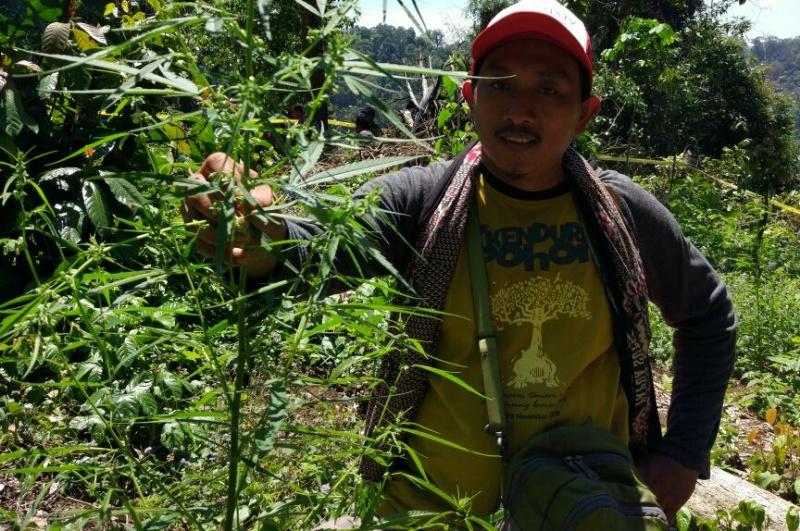 Tumbuh Subur, Polres Lumajang Temukan Ladang Ganja di Gunung Banyak Candipuro