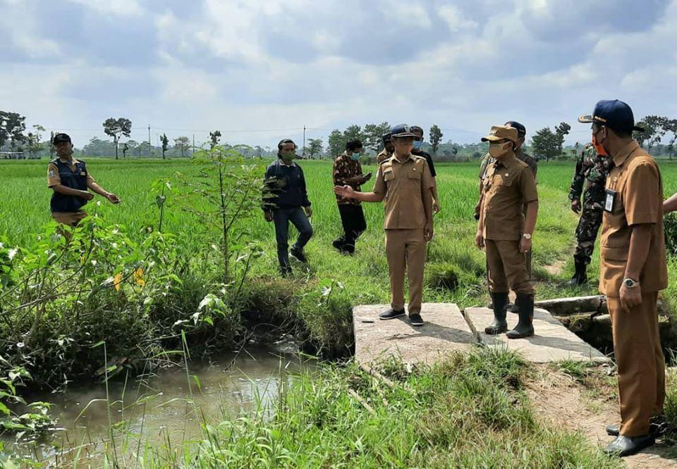 Lahan Pertanian di Blukon Lumajang Diserang Hama Wereng dan Keong Mas