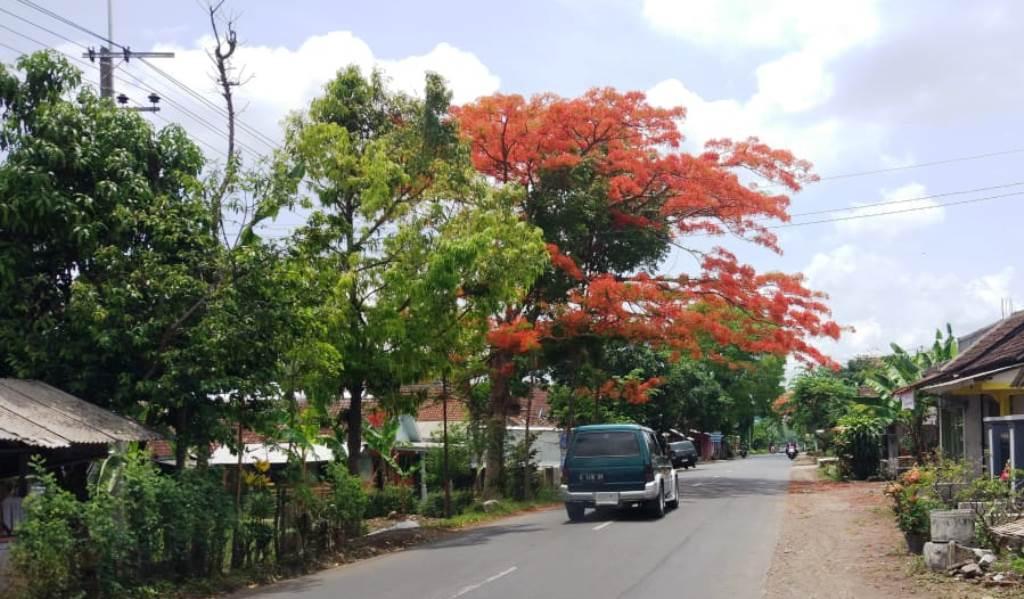 Indahnya Pohon Bunga Api Bermekaran Sambut Musim Hujan