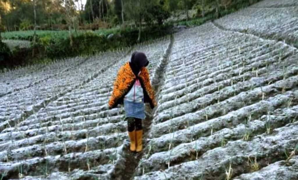 petani melihat tanaman bawang