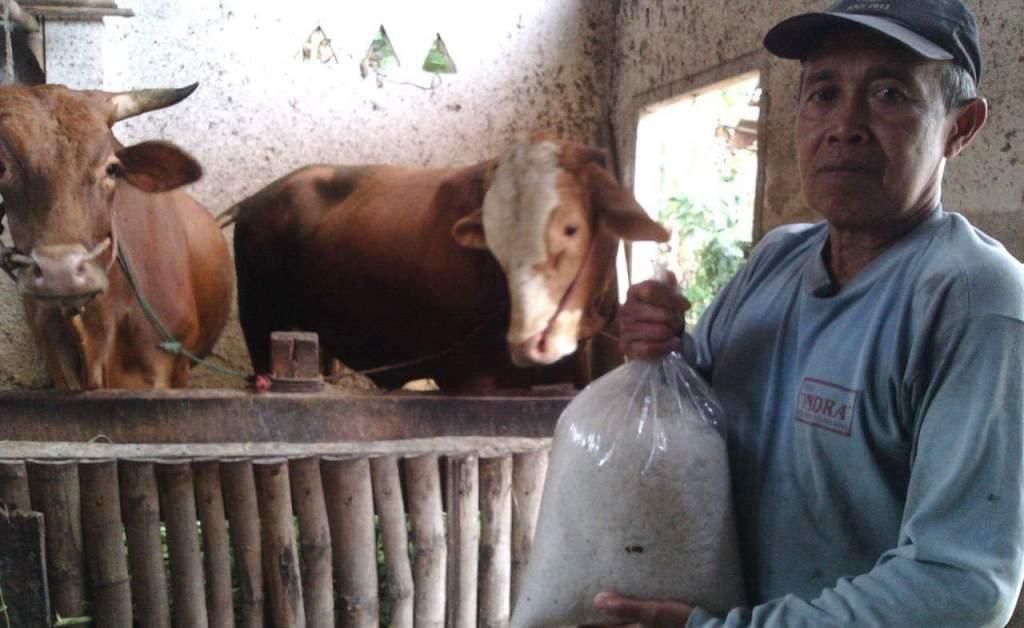 Harga Garam Selangit, Peternak Sapi di Lumajang Menjerit