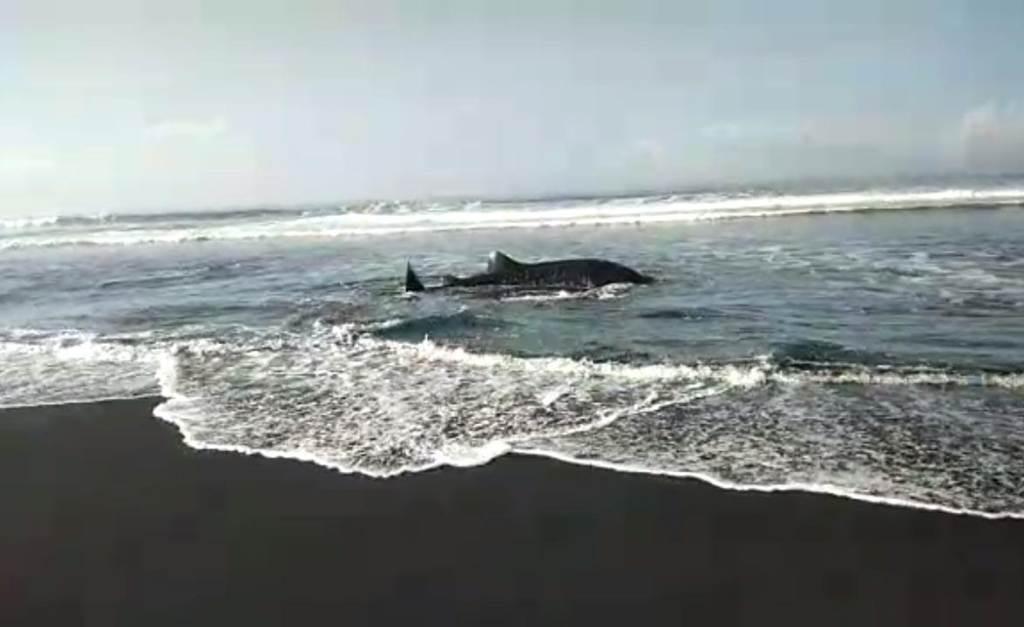 Hiu Tutul Terdampar di Pantai Wotgalih Lumajang Kembali ke Laut Lepas