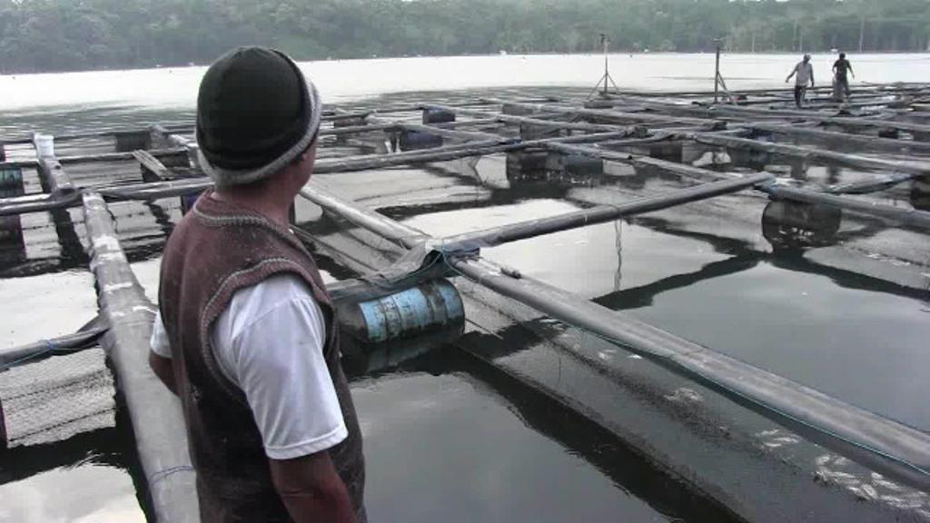 Fenomena Alam Koyo, Ratusan Ribu Ikan Mabuk di Ranu Klakah