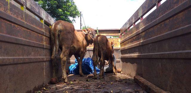Tim Kuro Lumajang Temukan 2 Ekor Sapi Hilang di Desa Ranulogong