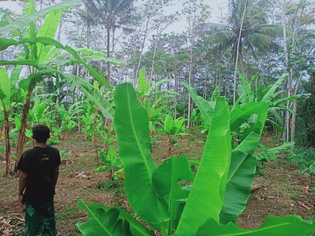 Pohon Sengon Penyakitan Warga Tempuran Kompak Tanam Pisang Lumajang