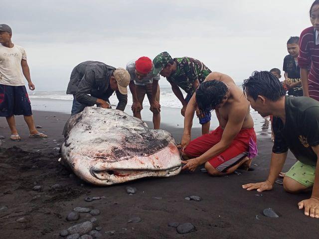 Hiu Tutul Terdampar di Pantai Padang Savana Pandanwangi Lumajang