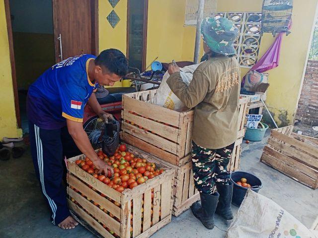 Harga Tomat Lumajang Anjlok 800 Perkilogram