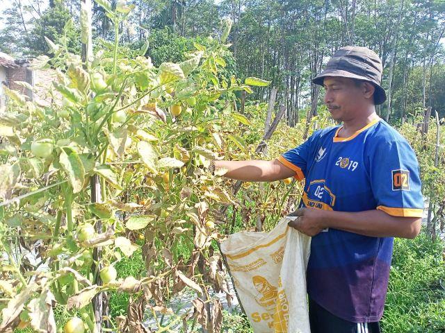 Petani Tomat Lumajang Panen Sendiri tanpa Buruh Saat Harga Anjlok