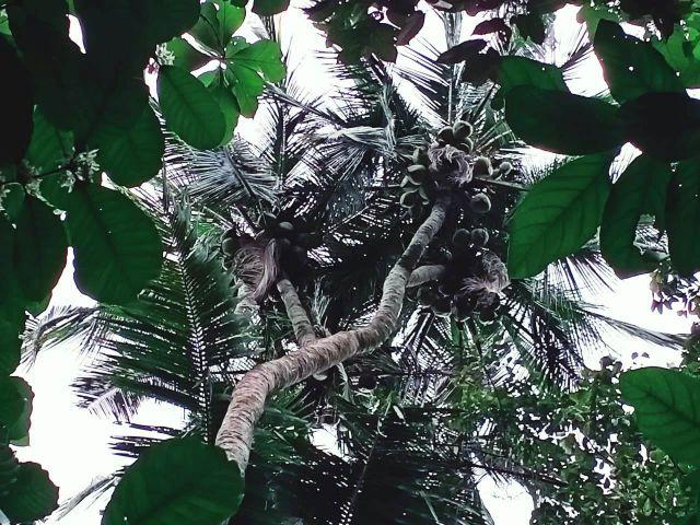 Unik..!  Ada Pohon Kelapa bercabang 6 di Duren Klakah Lumajang