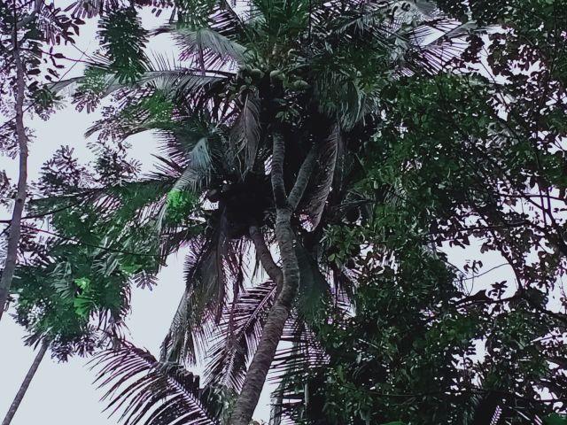 Serem..! Ada Ular Besar Penunggu Pohon Kelapa Cabang 6 di Klakah