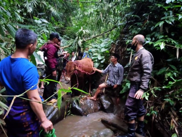 Sapi Curian Warga Pasrujambe Lumajang Ditemukan di Sungai Penuh Semak