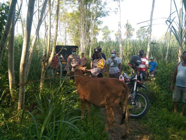 Maling Sapi Kumat Lagi di Lumajang Selatan