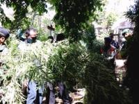 Polisi Temukan Ratusan Pohon Ganja di Bekas Caffe Sae Pisang Agung Lumajang
