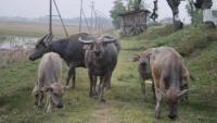 Marak Pencurian Kerbau, Peternak 4 Desa Siaga Satu Untuk Mengungkap