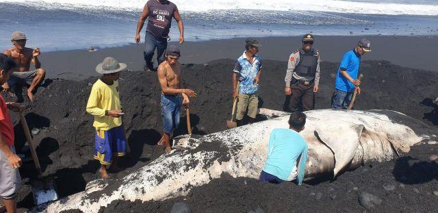 Bangkai Ikan Paus Tutul Dikubur Demi Hindari Bau Busuk