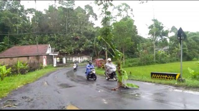Duh...! Jalan Pronojiwo Rusak dan Mulai Tumbuh Pohon Pisang
