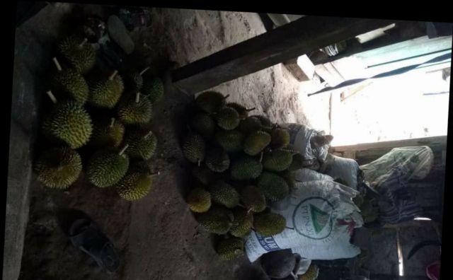 Wow...! Tempursari Sedang Panen Raya Durian, Harganya Murah Meriah