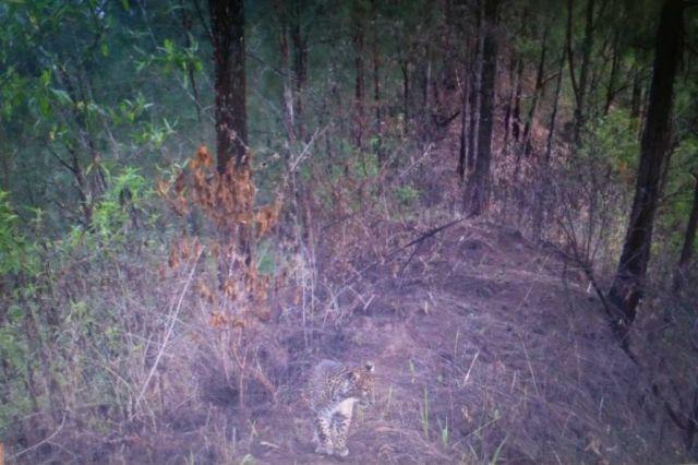 Terekam Kamera, Macan Tutul Semeru Muncul di Sekitar Senduro