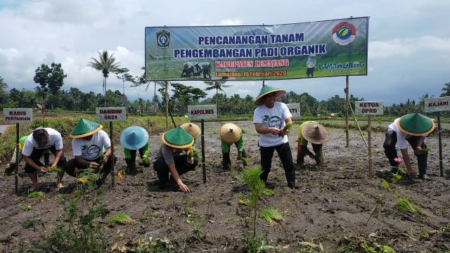 Bupati Lumajang Jadikan Candipuro Sentra Padi Organik