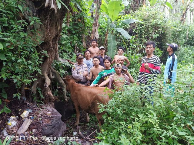 Sapi Warga Selok Awar-Awar Dicuri Maling Ditemukan di Bades Lumajang