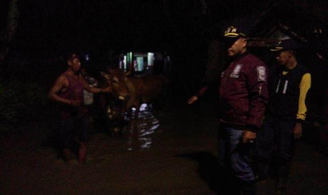 Banjir Datang, Warga Rowokangkung Lumajang Ungsikan Sapinya
