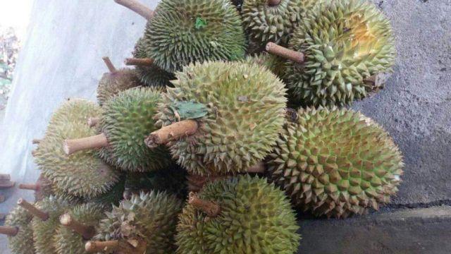 Panen Raya Durian Tempursari Lumajang Pertengahan Bulan Februari
