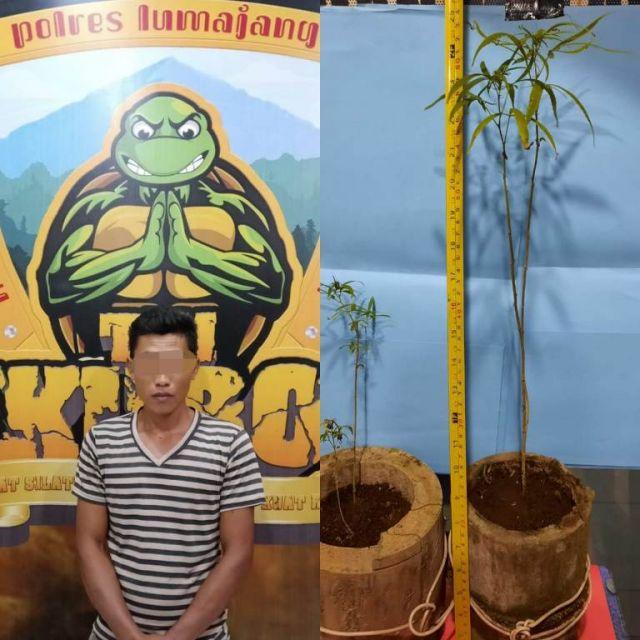 Cocok Tanam Ganja di Pot Bunga, Warga Jambekumbu Lumajang Diringkus