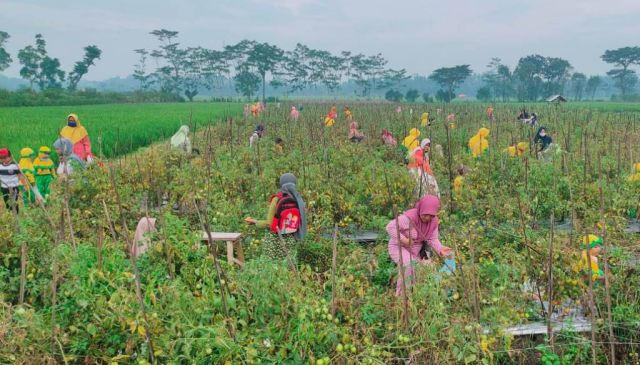 Petani Kedugrejo Lumajang Gelar Gerakan Belanja Sayuran di Lahan