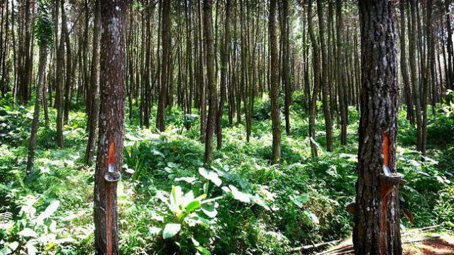 Perhutani Lumajang Genjot Produksi Getah Pinus dan Damaran