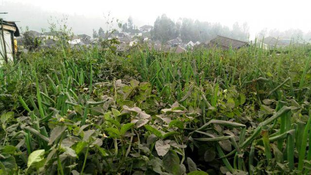 Abu Vulkanik Bromo Mulai Ganggu Pertanian Kentang Desa Argosari