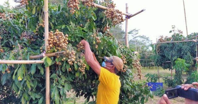Panen Perdana, KIP Ingin Klengkeng Lumajang Bisa Tembus Pasar Ekspor