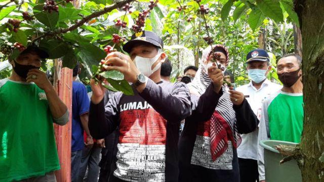 Cak Thoriq Petik Merah Kopi Lereng Semeru Plambang Lumajang