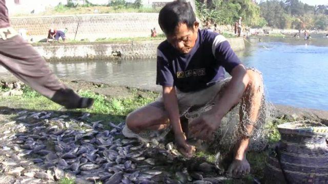 Wah..! Puluhan Ribu Ikan di Ranupakis Mabuk Jadi Berkah