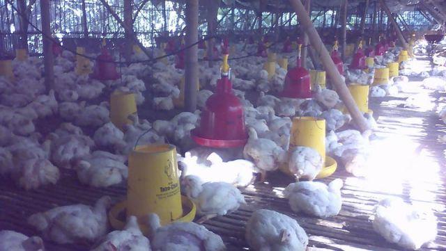 Harga Turun, Peternak Ayam di Lumajang Merugi dan Libur Sementara
