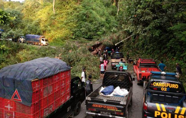 Pohon Besar Tumbang Putuskan Akses Lumajang-Malang Jalur Piket Nol