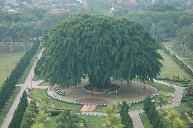 Golkar Dukung Cak Thoriq Tanam Pohon Beringin di Alun Alun Lumajang