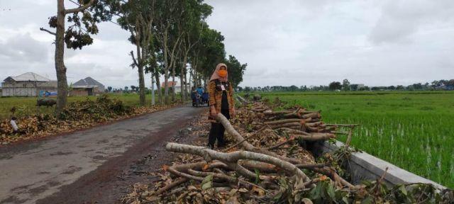 Belasan Pohon Peneduh di Jalan Kapuas Lumajang Dijual Tanpa Ijin