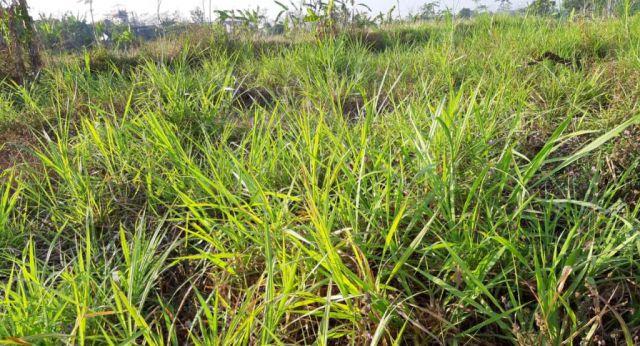 Wah.! Musim Kemarau Aksi Maling Rumput Marak di Lumajang Utara