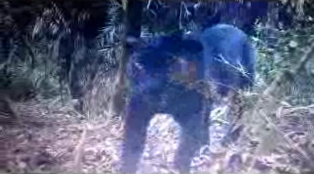 Wow..! Macan Tutul Jawa Terekam Kamera Tersembunyi TNBTS