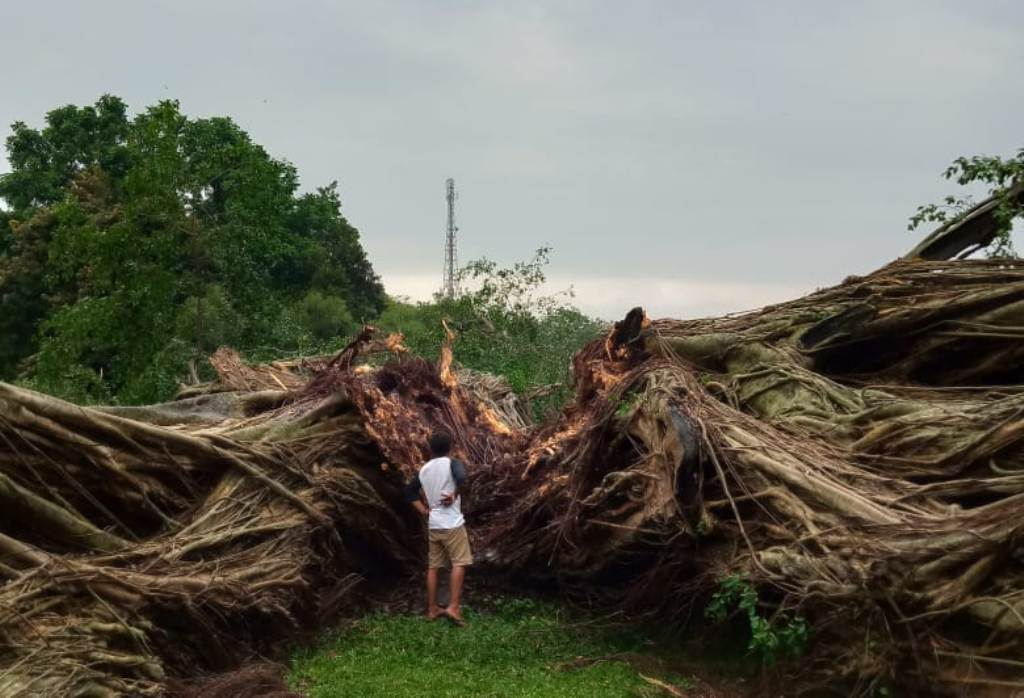 Beringin Alun Alun Lumajang Tumbang, Enaknya Diganti Pohon Apa..?
