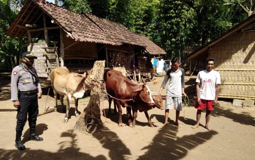 Tim Kuro Lumajang dan Warga Temukan 3 Ekor Sapi Hilang di Ranuyoso